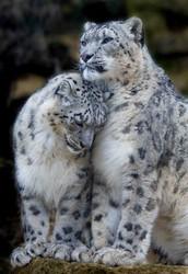 Snow Leopard's Natural Habits