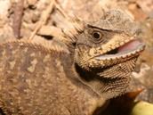 Tan Lizard