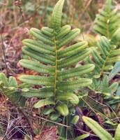 fern of the southwest region
