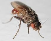 Phoretic mites & Flies