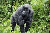 A Female Mountain Gorilla