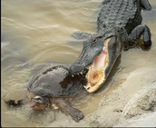 alligators usually eat once a week. they eat  mammals,fish,snakes and birds. oh ya and turtls