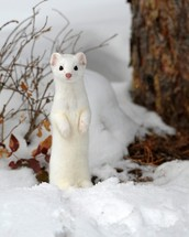 The Ermine