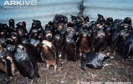 penguins covered in oil