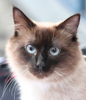 Blue tip Birman