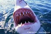 The Huge Teeth
