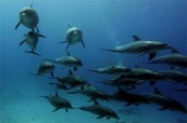 Pods: Dolphin Groups