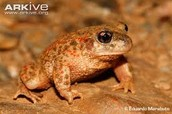 The Iberian Midwife Toad