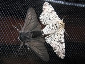 About the Peppered moths