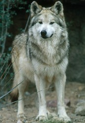 Should law continue to protect wolves?