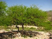 Mezquite suave