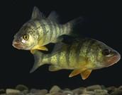 Perca flavescens/fluviatilis/schrenkii