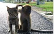 MONKEY BEING NICE TO CAT
