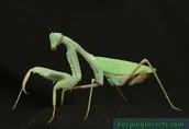 Praying Mantis Sheds its Skin