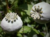 A picture of the the opium flowers