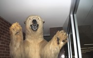 North High Polar Bear