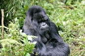 A Male Mountain Gorilla