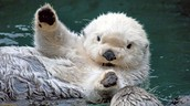 1 Sea Otter
