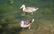 Common Ducks