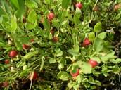 low bush berries