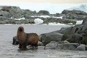 Fur seal on all fours