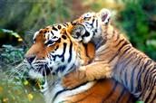 tiger types