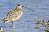 CRITICALLY ENDANGERED: Eskimo curlew - Numenius borealis