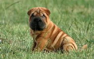 Red Shar Pei