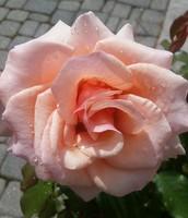 """Una rosa """"Grandiflora"""""""