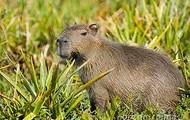 Un animal de Argentina; un Capivara