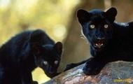 Panther cubs
