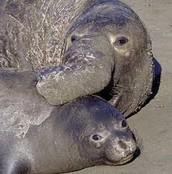 elephant seal breeding