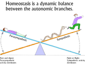 Fun fact about homeostasis