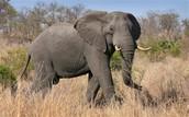 Where elephants live