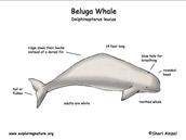 Beluga Whales Appearance