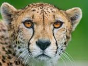 Cheetah biome