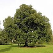 All about the Western Hemloke tree