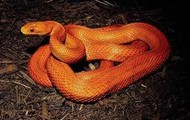 Here is a picture of a red snake
