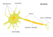 neurons and their make up