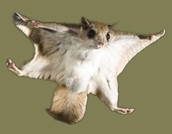 What is the Flying Squirrel?