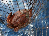 Turtle being caught in a net