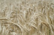 Untouched Natural Wheat