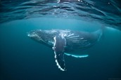 Picture of a whale in the water.