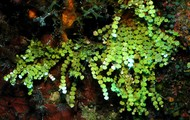 Halimeda Algae
