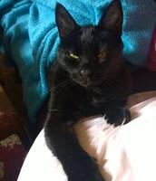 Tolstoy the Black Cat