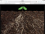 Roots absorb water and store food