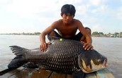 Fish found in Tonle Sap