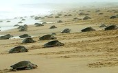 Sea Turtles going into the Ocean