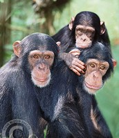 Family of Chimps