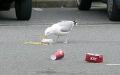 Seagulls Can Clean Up Trash